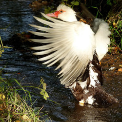 Morning Muscovy in the brook