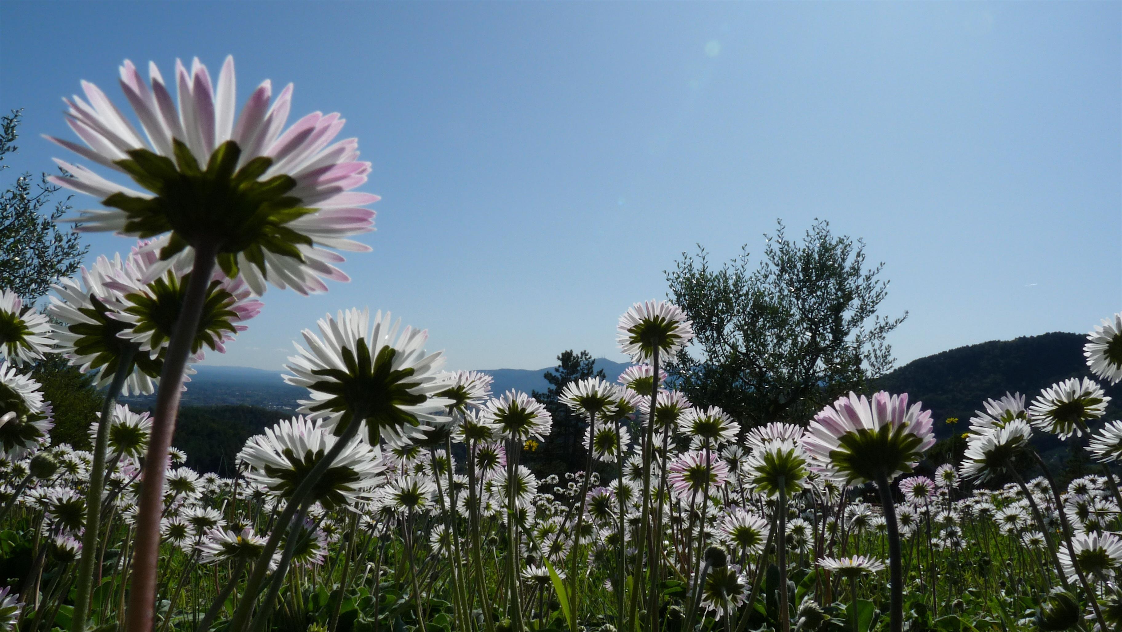 Among daisies