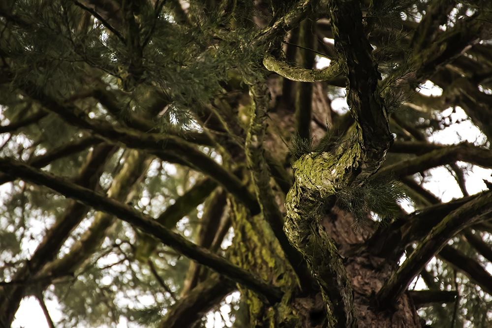Geäst der Wellingtonie (Mammutbaum)