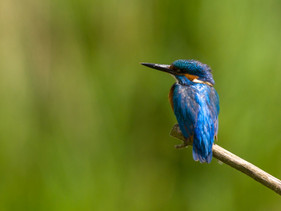 Kingfishers down by the Hermitage!