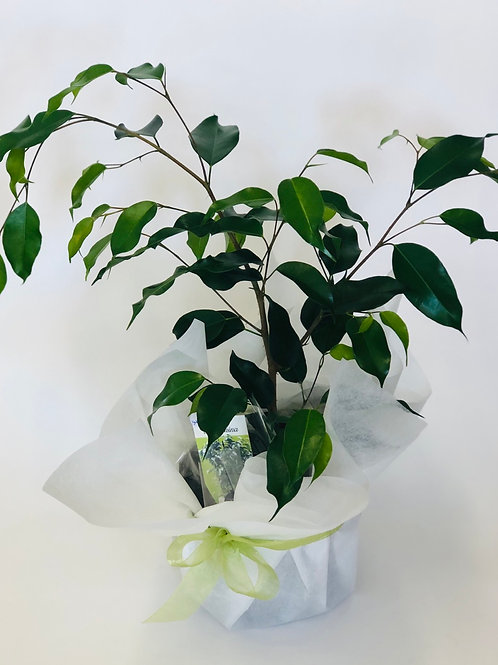 Ficus - gift wrapped
