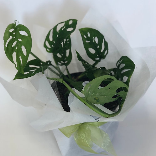 Swiss Cheese Plant - gift wrapped