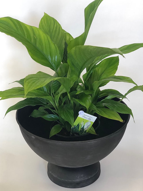 Peace Lily in Large black pot