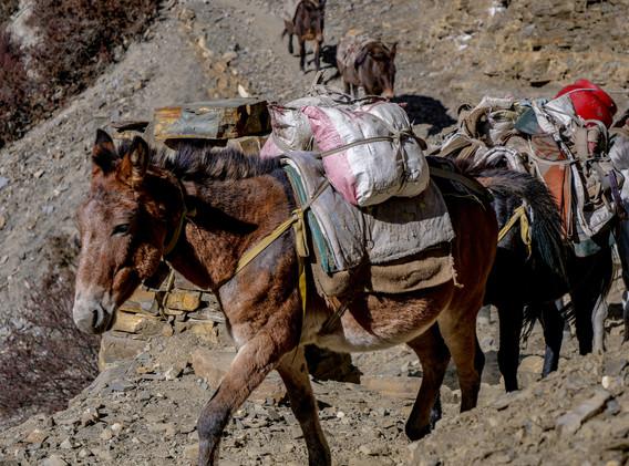 Caravane de mules au retour du village de Phu