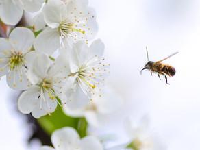 Apropos Propolis… Über Bienen, Harz und brasilianischen Rosmarin