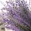 Thumbnail: Lavendel Provence