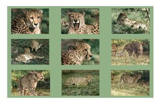 Cheetah Photo Panel