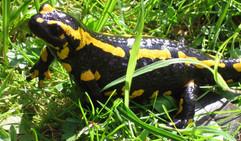 salamander_female.jpg