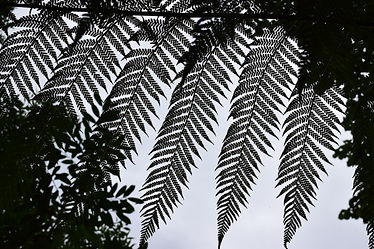 Outline of ferns at the victorian fernery on the island of bute