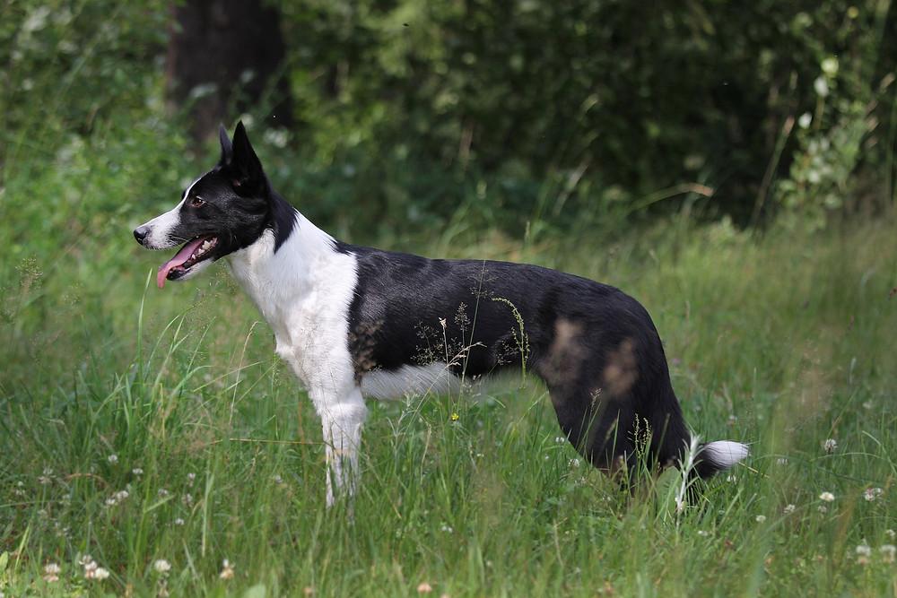 Meg the Blacksheep, border collie