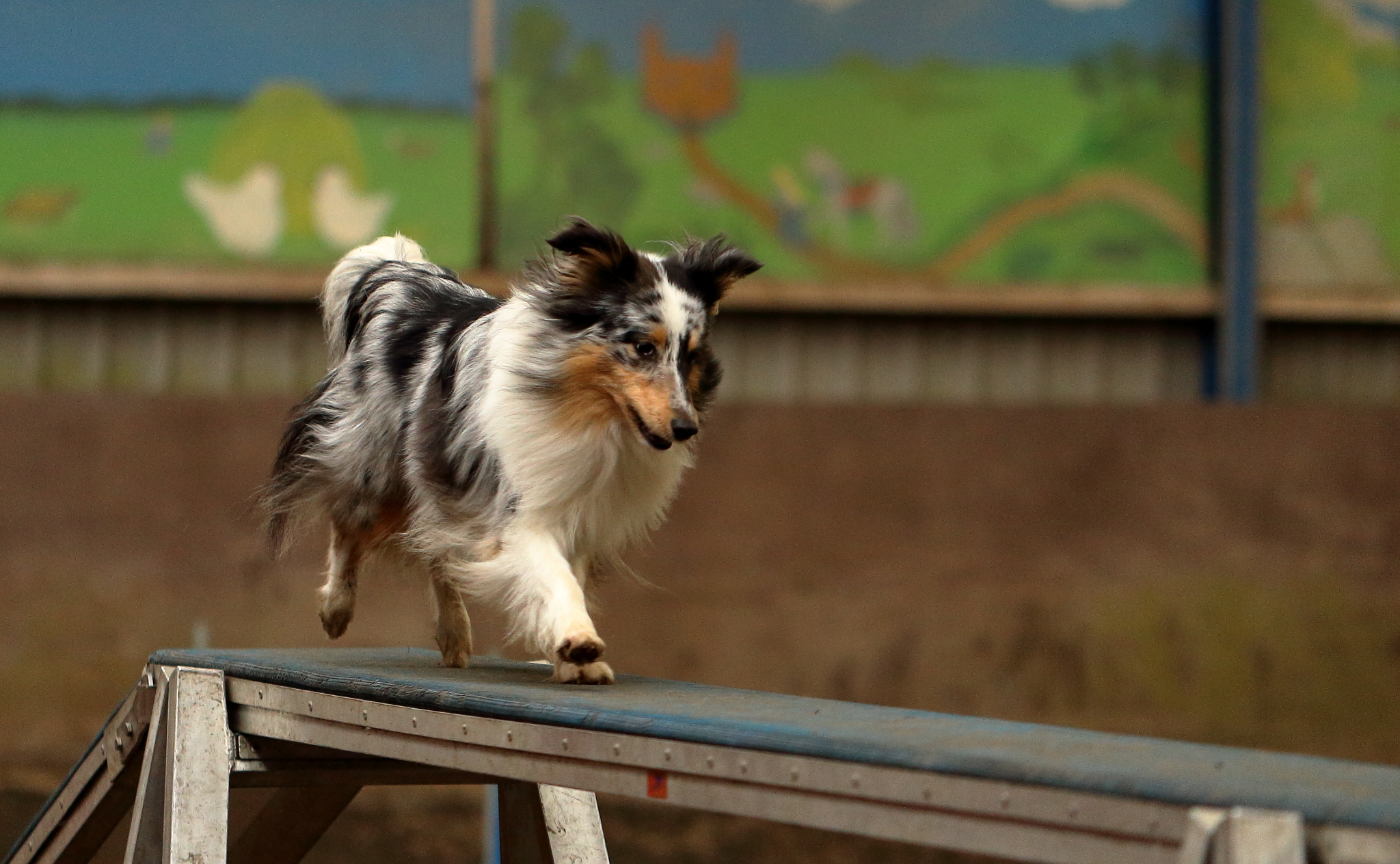 Party Time sheltie