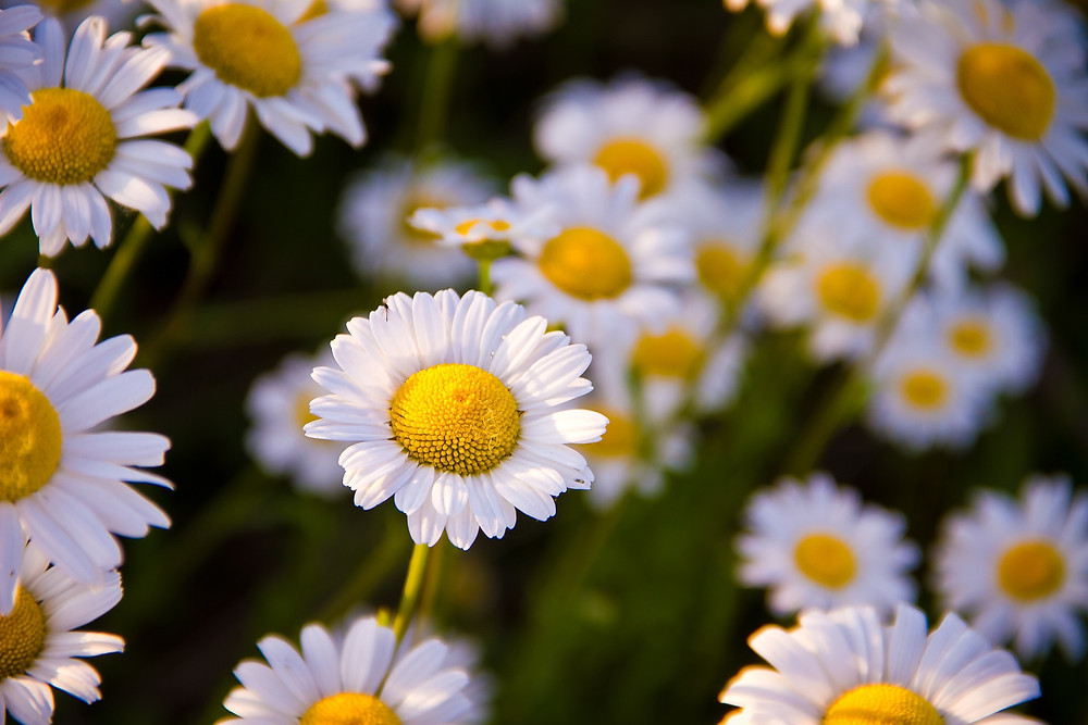 Chamomile is a calming fragrance.
