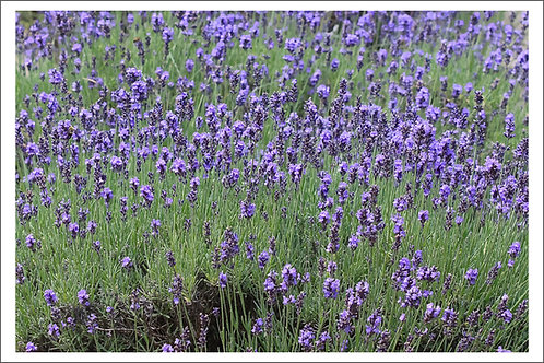 Lavender Field Mask