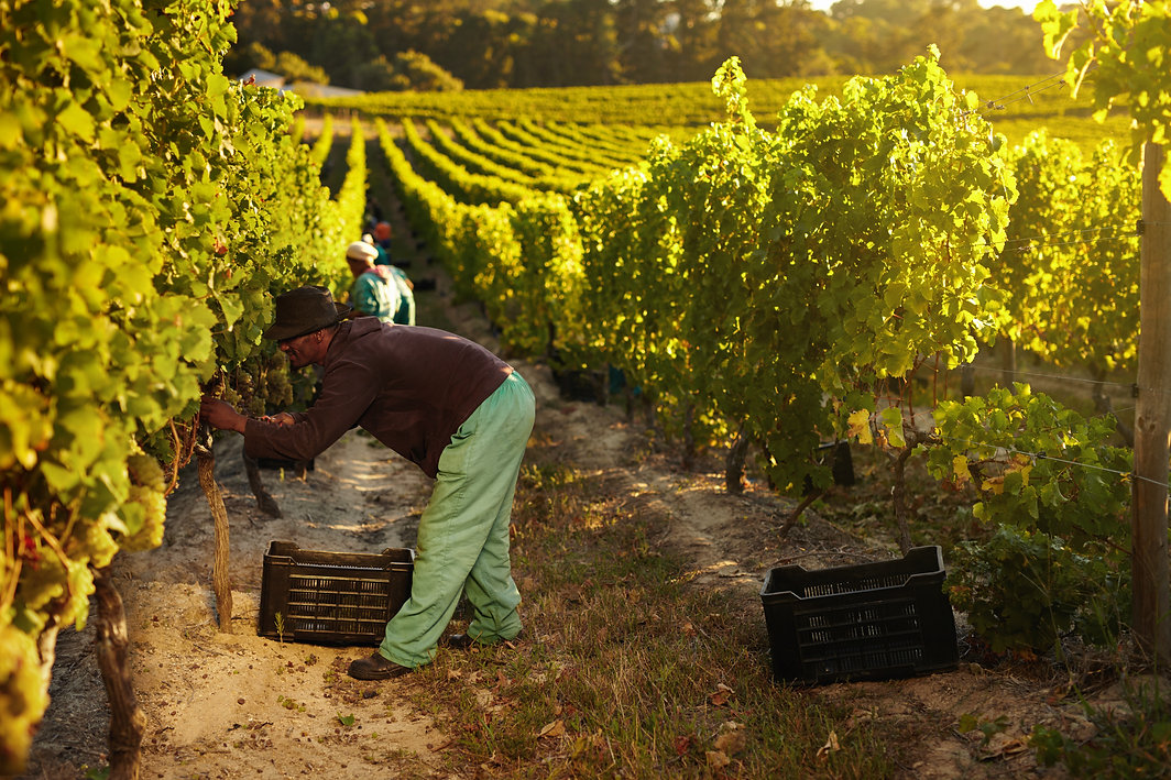worker-harvesting-grapes-for-wine-PCT2EB