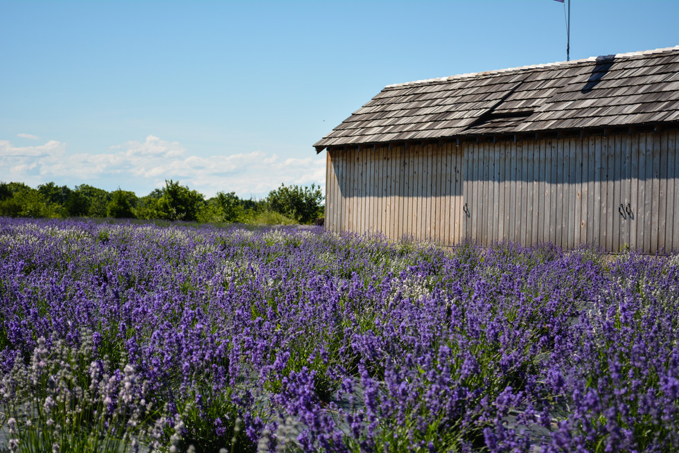 Lavendar Fields, Washington Island, Wisconsin