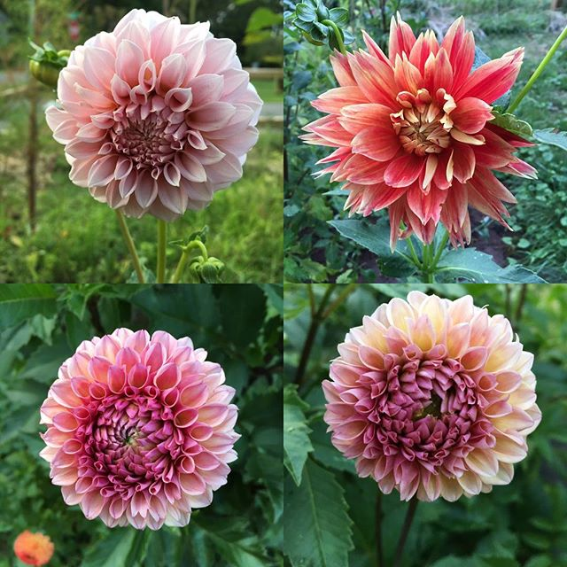 A few babes in the garden #dahlias #dahliaseason #lunablooms #ctgrown #ctflowers #farmerflorist #ctl