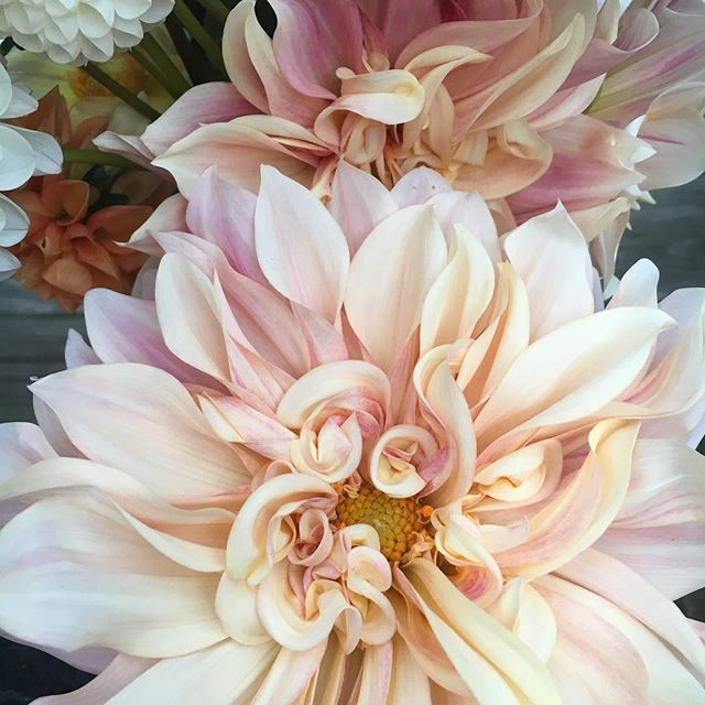 Curly swirly creamy deliciousness #cafeaulait #dahlia #octoberflowers #ctlocal #weddingflowers #ctsh