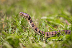Rough-scaled Snake 20170627 Belli.jpg