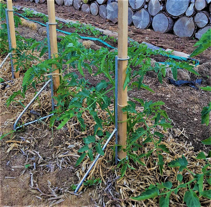 The EASY STAKE tomato plants