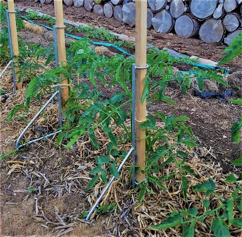 The EASY STAKE tomato plants