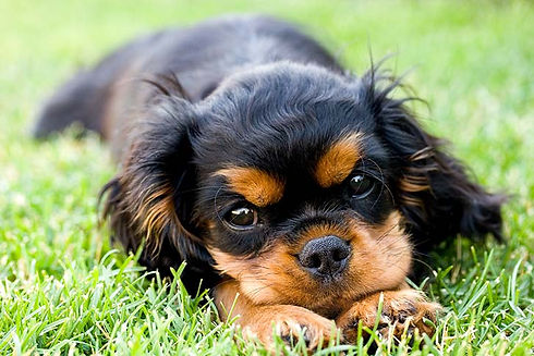 Cavalier-King-Charles-Spaniel_Puppy_Gras