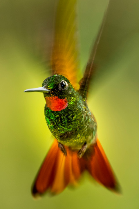 Beija-flor - Ensaios (Hummingbirds essay)