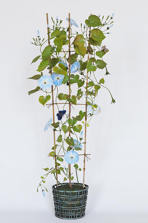 Pale Blue Morning Glories