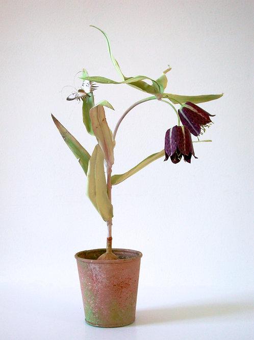 Black Fritillaria