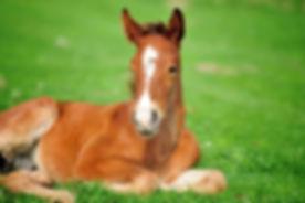 chestnut-foal-lying-in-pasture.jpg