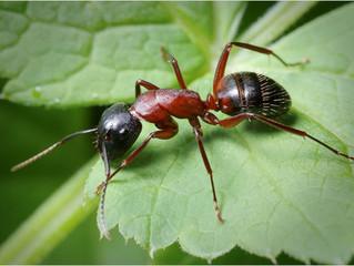 Как да се борим с мравките в зеленчуковата и овощна градината