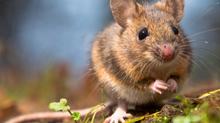 Борба с плъхове и мишки: най-ефективните методи