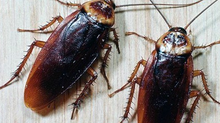 Как да се борим с хлебарките в жилището?