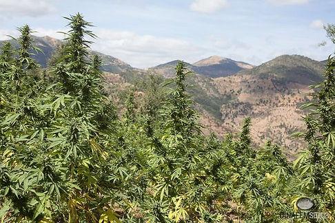 Em Weed 3.jpg