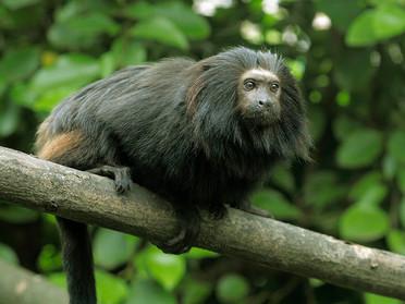 Nesli tükenmekte olan siyah aslan maymunlarına can geldi