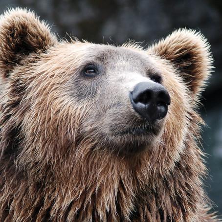 Sulle tracce dell'orso in Val di Gresta (TN)