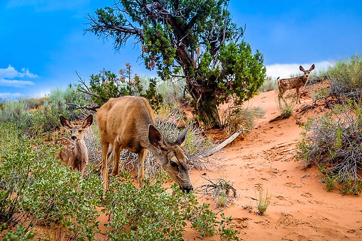 A Doe and her Fawns graze in Arches National Park