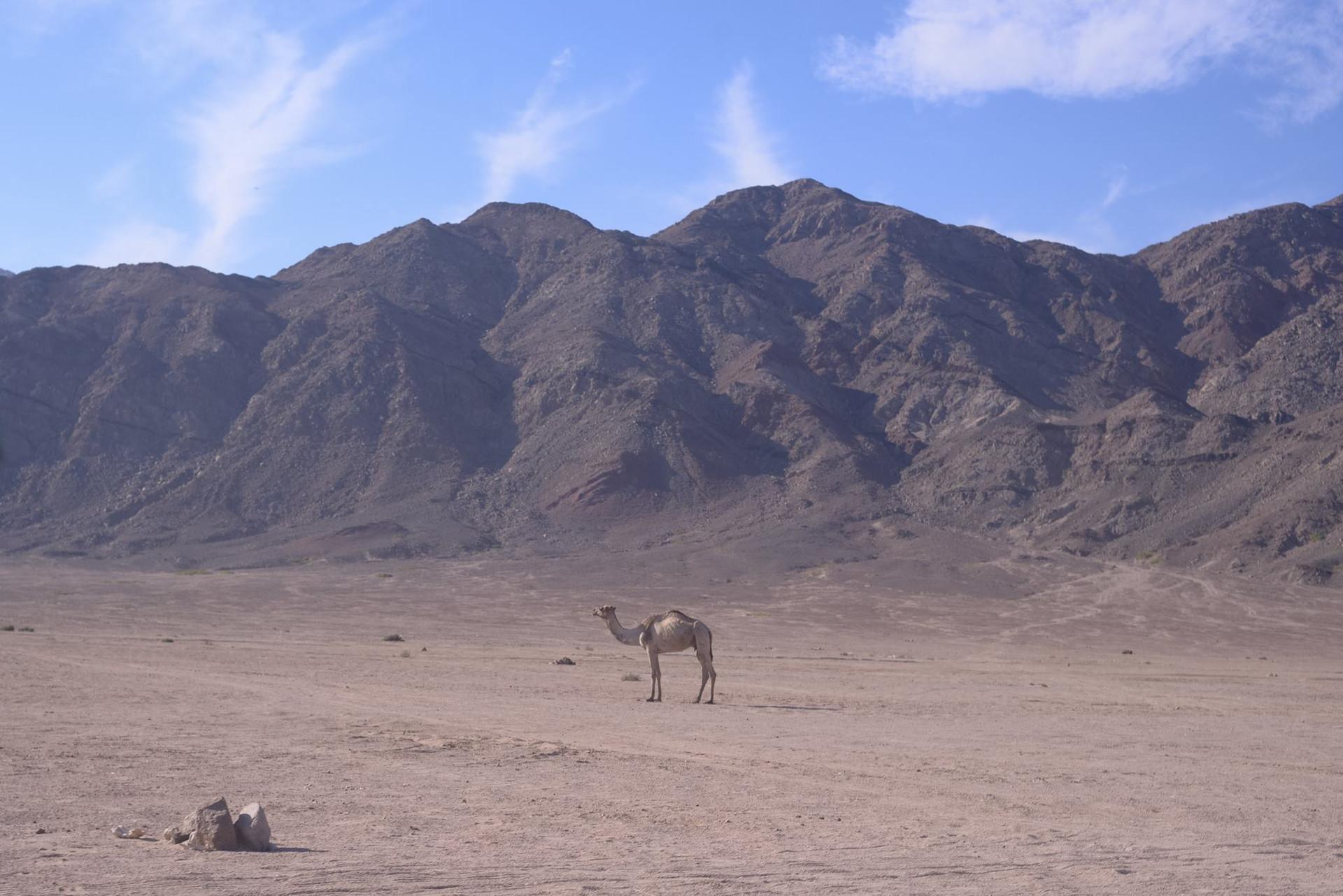3.1 Camel.jpg