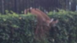 Stuck-Deer-jpg_660331_ver1.0_1280_720.jp