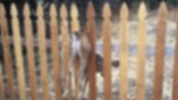 deer stuck fence 2.jpg