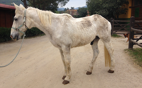 Los caballos viejos a menudo estan delgados a causa de importantes problemas odontológicos | Dentista equina M Duch