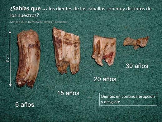 La longitud de los molares de los caballos va disminuyendo a medida que avanza su edad  | dentista M Duch