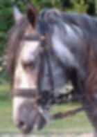 Cualquier caballo con embocadura requiere un cuidado odontológico por un dentista equino