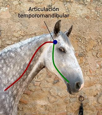La articulación temporomandibular en la imágen de un cráneo