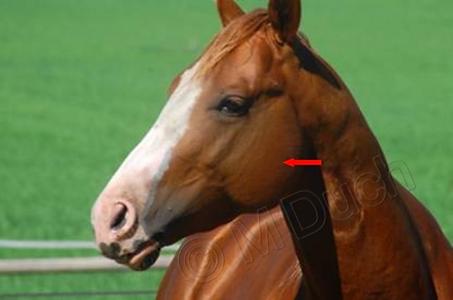 La presión de los propios músculos masticatorios del caballo contra las afiladas puntas pueden provocar heridas en la cavidad bucal | Dentista equina M Duch