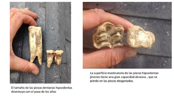 La superficie de los dientes de caballos viejos está desgastada disminuyendo su capacidad abrasiva | Dentista equina M Duch