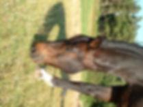 Hoy en dia los caballos no usan suficientemente su dentadura porque mastican pocas horas al día