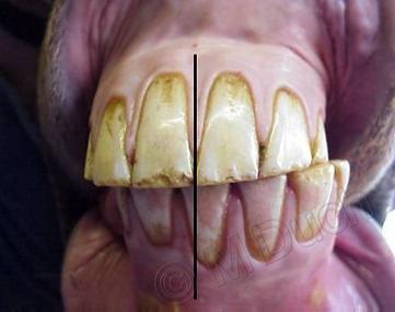 Incisivos en diagonal y descentrados, estos caballos suelen incurvarse mejor hacia el lado al que se desplaza la mandíbula inferior | dentista equina M Duch