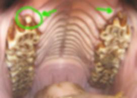 Los dientes de lobo del caballo se situan justo delante de los primeros premolares | dentista equina M Duch