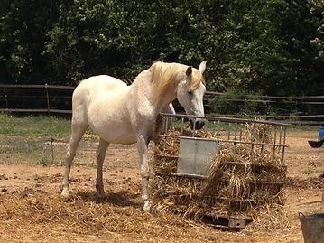 Los caballos viejos necesitan una especial atención odontológica para mejorar su calidad de vida
