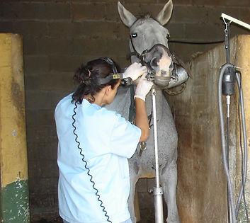 Veterinaria Dentista equina, Matilde Duch, trabajando la boca de un caballo.